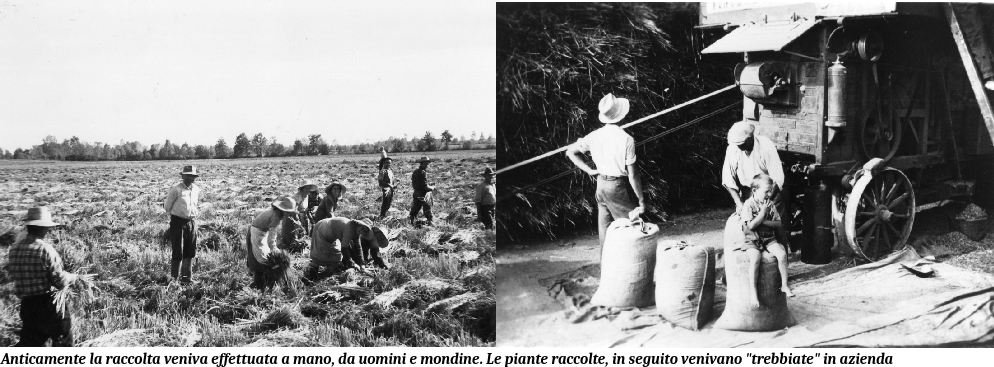 Raccolta del riso presso Riso Corbetta