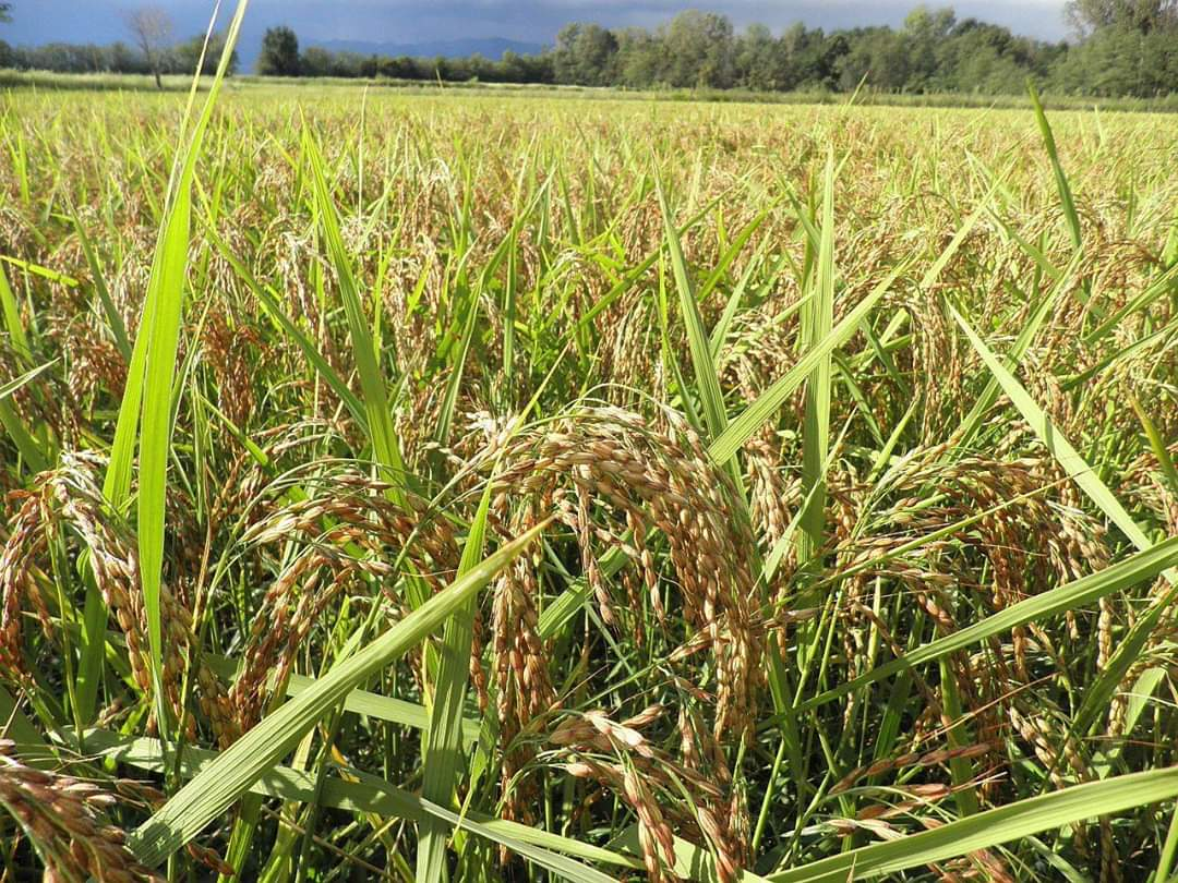 Piante di riso pronte alla maturazione presso Riso Corbetta